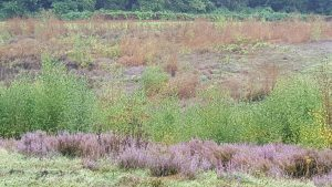 Photo of Silver Birch Re-growth on nature reserve